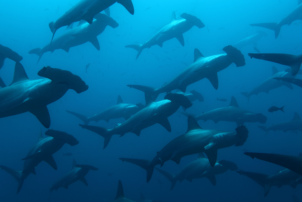 'New York Times' Ad Urges Costa Rica and Ecuador Presidents to Protect Endangered Sharks and Sea Turtles by Creating the Cocos-Galapagos Swimway