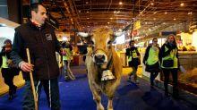 """On vous présente """"Haute"""", la vache mascotte du Salon de l'agriculture 2018"""