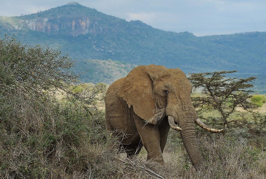 Thousands of African elephants are killed each year to satisfy a rising Asian demand for ivory, conservationists warn (AFP Photo/Tony Karumba)