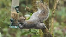 Problem-solving could be key to grey squirrels' success, study finds