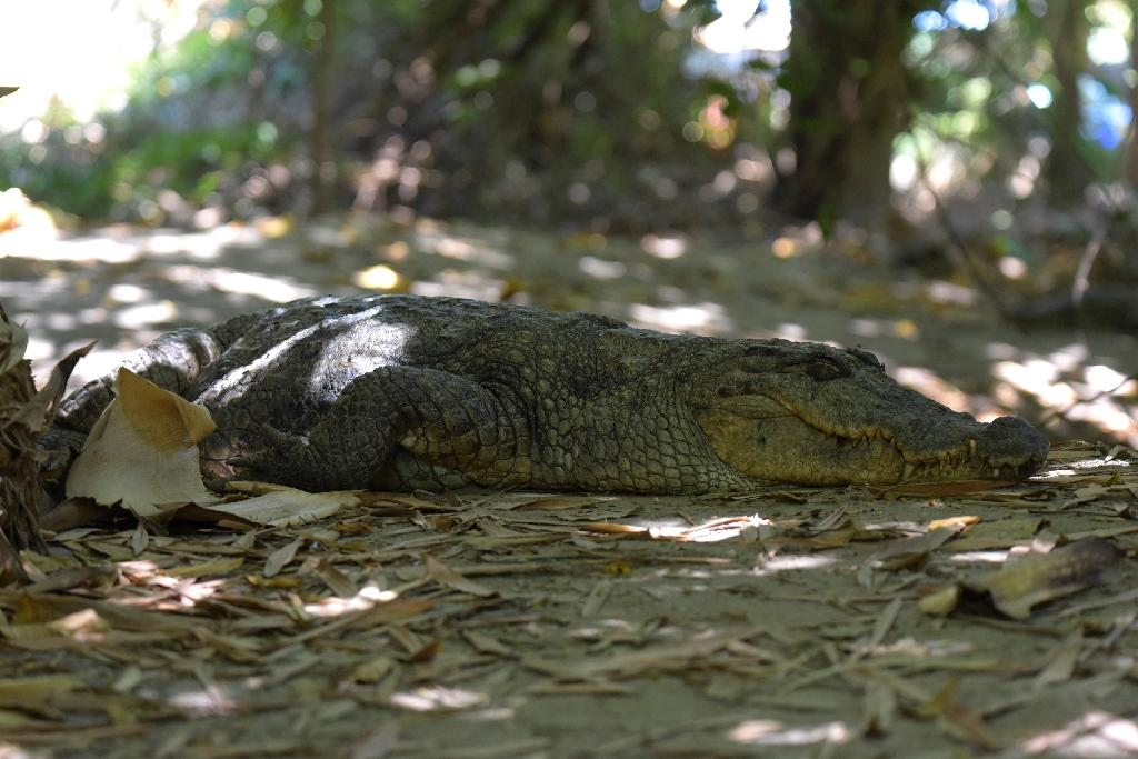 Heavy rains and flooding can cause crocodiles to become displaced, popping up in unusual places