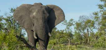 Suspected poacher killed by elephants in South Africa