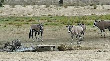Fearless oryx chase hyena away from watering hole