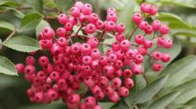 How to grow rowan trees