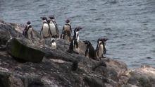 Minería versus pingüinos, la batalla que divide a los chilenos