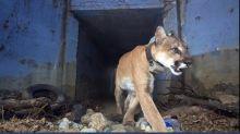 Puma überlebt Autobahnquerungen - und stirbt nach Waldbrand