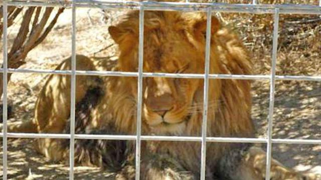 Lion attack leaves intern dead at CA wild cat park