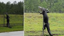 L'invasione di alligatori in Florida