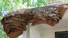 Wasps nests the size of cars are coming back to Alabama after an unusually mild winter
