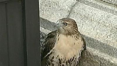 Hawk Stuck In Downtown Boston