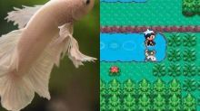How a pet fish discovered a game-breaking glitch in Pokemon Sapphire