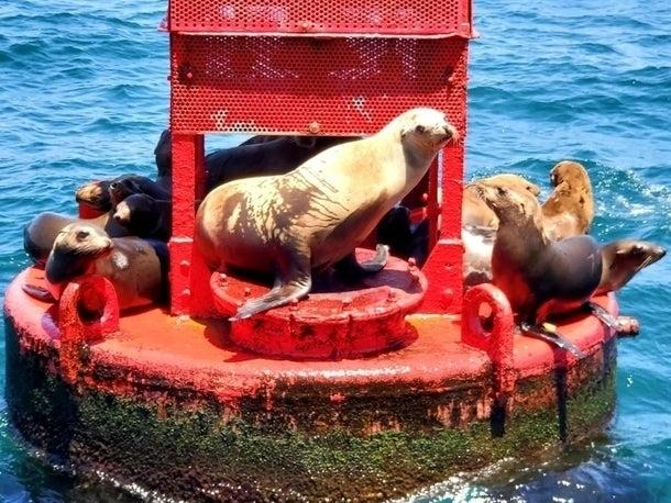 A group of California sea lions hang out in Marina del Rey.