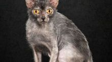 Meet the Lykoi Cat, a New Breed That's Scary Cute. Like Werewolf Scary