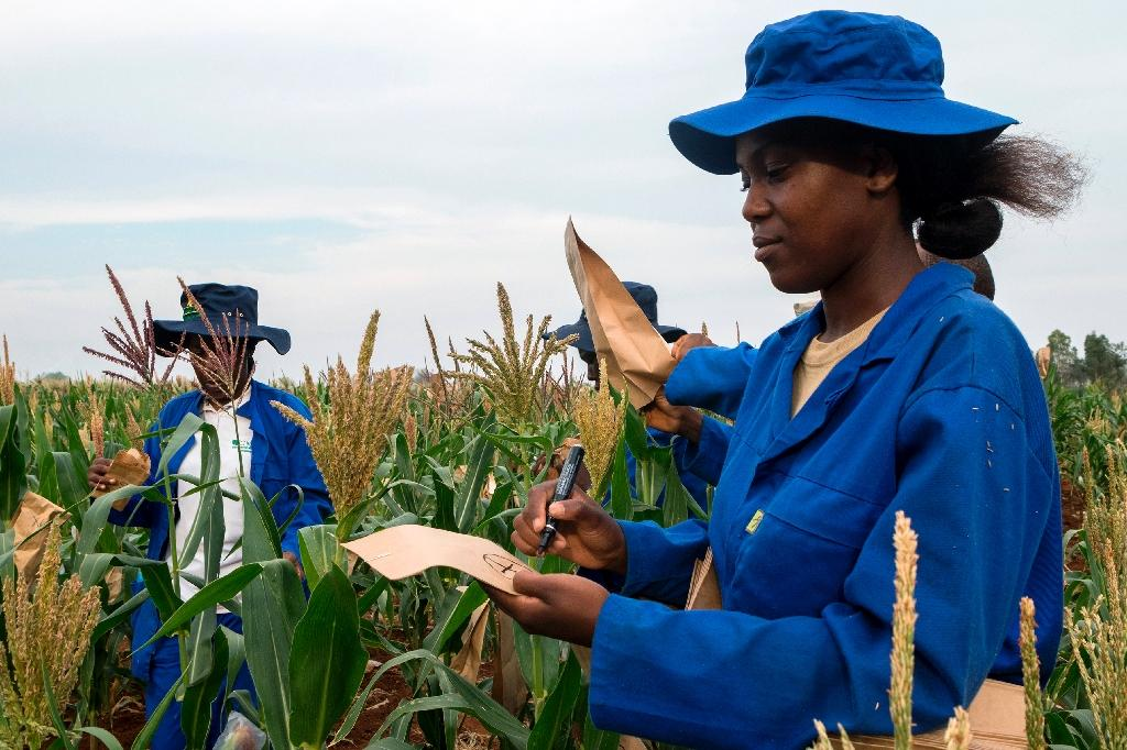 Plant breeders pollinate male and female plants in a plot of a heat-tolerant hybrid maize growing at the Chiredzi Research Station, on October 24 2016 (AFP Photo/Jekesai Njikizana)