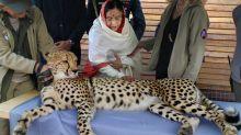 違反自然?絕種70年 印度欲重新放置獵豹於野外