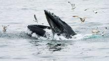 """Un pêcheur sain et sauf après avoir été """"avalé"""" par une baleine au large du Massachusetts"""
