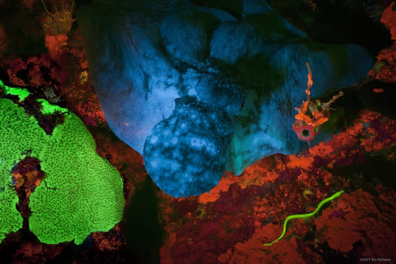 This biofluorescent green eel (lower right corner) surprised scuba-diving scientists, and prompted them to study its glowing proteins.