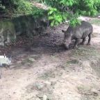 Huge rhino is terrified of a cardboard cutout of himself at Thai zoo