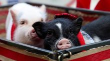 Pigs, chickens and miniature horses allowed as comfort animals in Calgary