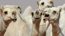 Camels are getting Botox. Dogs too. Why on earth?