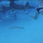 Honeymoon shark bite caught on camera