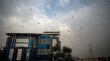 Swarms of desert locusts threaten India's summer crops