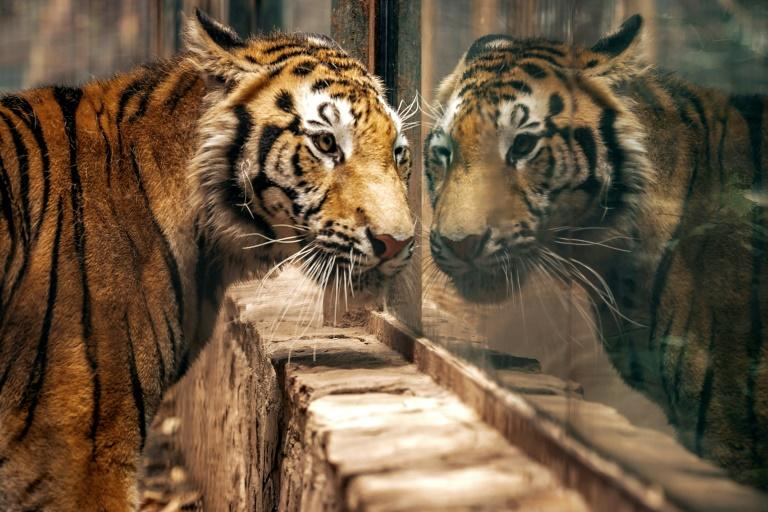 The tiger's owner had responded to a campaign to avoid abandoning animals during the COVID-19 lockdown (AFP Photo/RASHIDE FRIAS)
