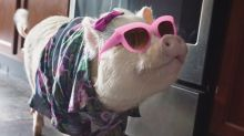 Meet Hamlet, the pint-size therapy pig and Insta star