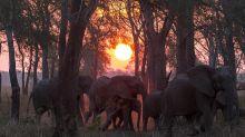 Los elefantes evolucionan perdiendo sus colmillos para sobrevivir a los cazadores furtivos
