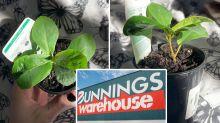 Bunnings $4 Fiddle Leaf Fig sparks frenzy