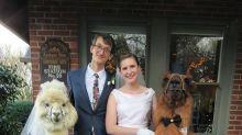Empresa oferece aluguel de lhamas para cerimônias de casamento