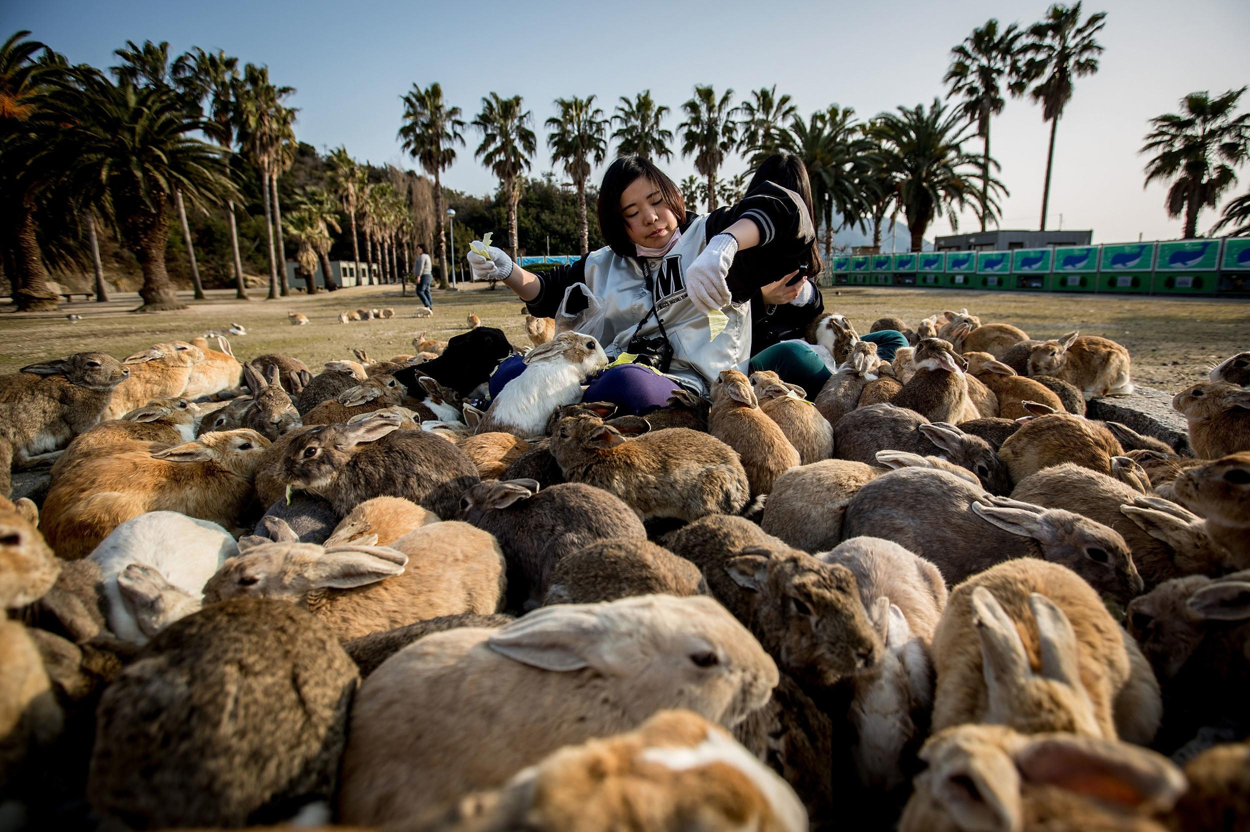 <p>Okunoshima Island, in Japan, attracts tourists to witness its huge rabbit population that has taken over the island, with many people visiting to feed the animals. The island, often called Usagi Jima or Rabbit Island, was used as a poison gas facility in World War II. The rabbits were intentionally set loose after the war when the island was developed as a park.</p>