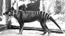 Tasmanian Tigers Are Extinct, So Why Are Locals Reporting Sightings?