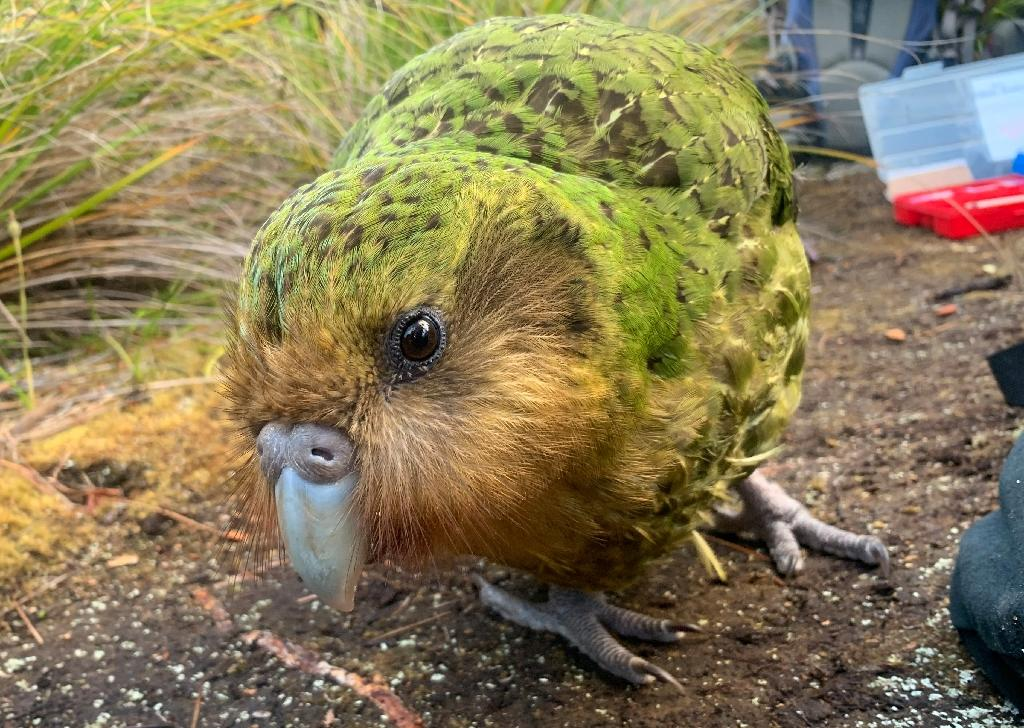 The flightless noctural kakapo was thought to be extinct just 50 years ago but its numbers are on the rise after a record breeding season (AFP Photo/ANDREW DIGBY)