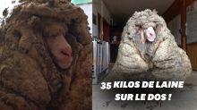 En Australie, ce mouton secouru avec 35 kilos de laine sur le dos