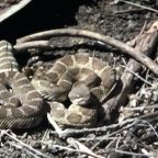 'This is their home': How to stay safe during rattlesnake season from a snake expert