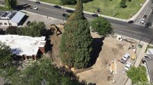 Work to move giant sequoia draws curious Idaho onlookers