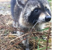 Raccoons Who Police Assumed Had Rabies Were Actually Just Drunk