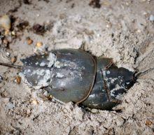 Wildlife groups pressure Big Pharma to curb crab blood addiction