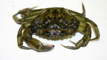 Hybrid crabs plague Newfoundland
