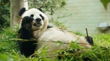Failed million-pound bid for Scottish panda 'has been a disgrace'