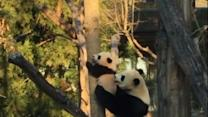 Baby Panda Gets Lift From Mom to Climb Tree
