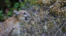 Mountain lion attacks Colorado hunter armed with just a pocket knife, officials say