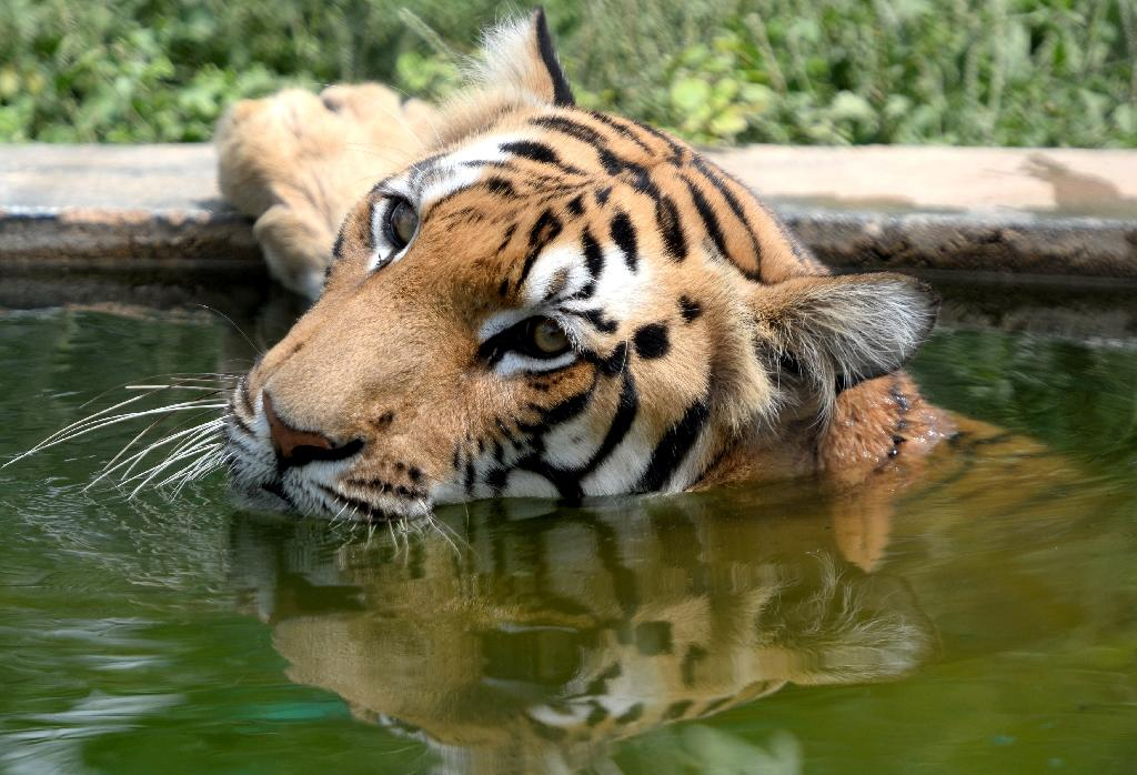 This Bengal tiger pictured at the Arignar Anna Zoological Park in Chennai, India is part of one of six subspecies of endangered big cats, researchers say (AFP Photo/Arun SANKAR)