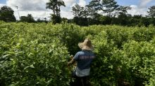 US sees decline in Colombia coca cultivation