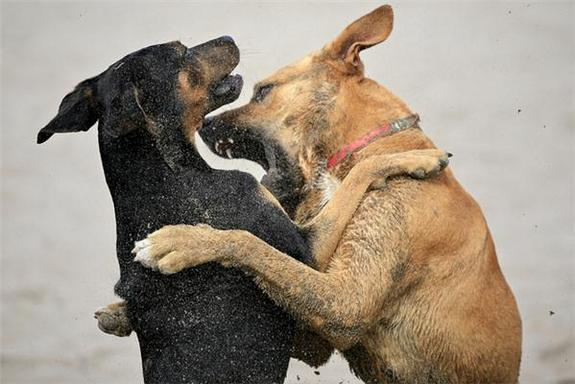 Sudden Aggression in Dogs Often a Sign of Pain