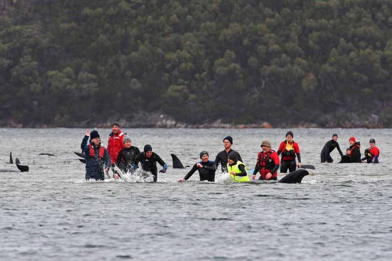FILE PHOTO: Rescue efforts to save whales stranded on a sandbar take place at Macquarie Harbour