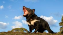 'Like wolves to Yellowstone': Tasmanian devils released on Australian mainland