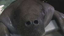 Senior Citizen 'Snooty': Fla. Manatee Turns 65