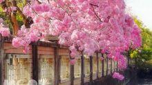 粉紅棉花糖超浪漫!全台七大洋紅風鈴木賞花熱點